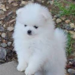 Chiots Spitz A Adopter Annonce Sur Sideplace